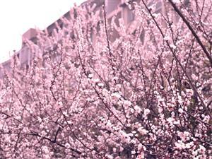 春花—粉的像霞1