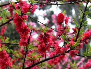 春花—红的像火2