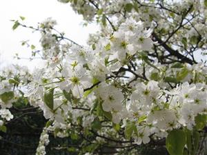 春花—白的像雪2