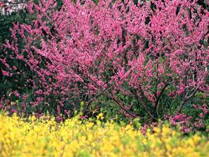 春花—红的像火1