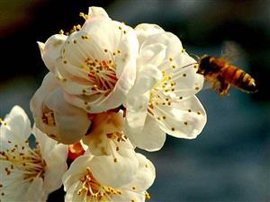 蜜蜂嗡嗡地闹着