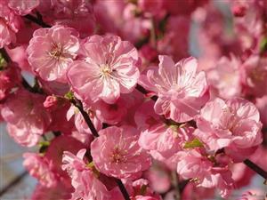 春花—粉的像霞2
