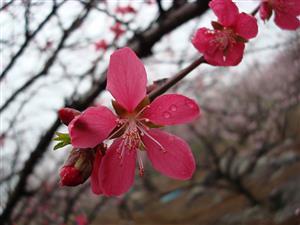 雨后桃花分外红