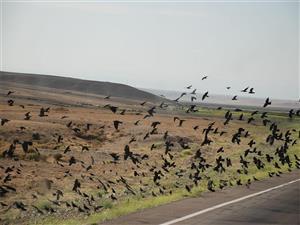 成群结队的乌鸦