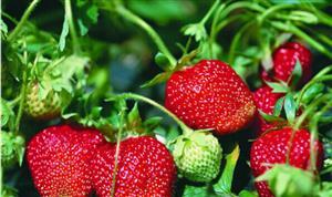 地上的草莓