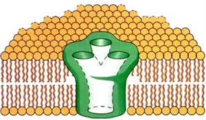 大肠杆菌的双层质膜