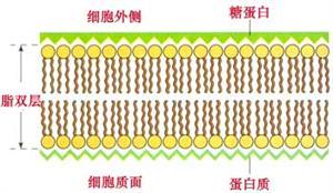 质膜的单位膜模型