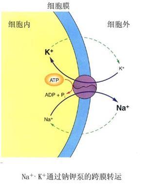 钠钾的跨膜运输