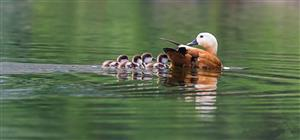 鸭妈妈和它的孩子