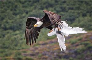 海鸥与秃鹰搏斗