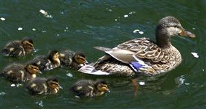 鸭妈妈与小鸭子