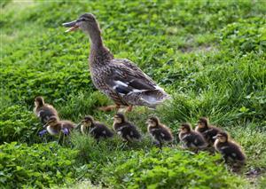 有爱的一群鸭子