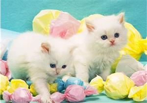 可爱的小猫2