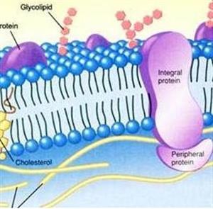 生物膜流动镶嵌模型