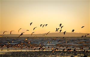 海鸥的迁徙