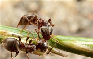 蚂蚁传递信息2
