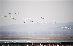 白鹤的迁徙