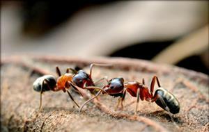 蚂蚁传递信息3
