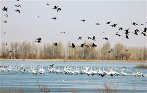 天鹅的迁徙