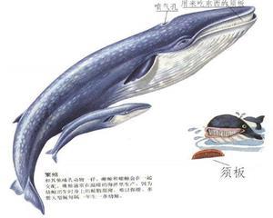 蓝鲸的描述图