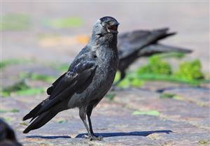 惊恐的乌鸦