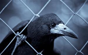 乌鸦尖尖的嘴
