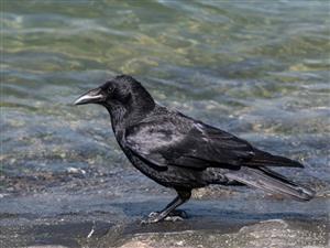 水边的乌鸦