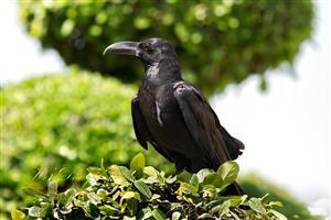 树上的乌鸦