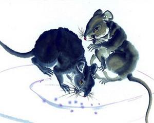 狡黠的老鼠