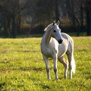 精彩故事:黑毛驴与白马