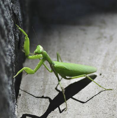 推荐阅读:螳螂