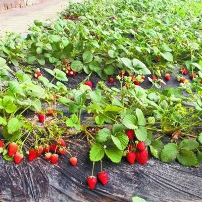 推荐阅读:外婆家的草莓地