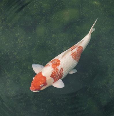 精彩故事:鲤鱼和灰蟹