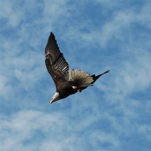 精彩故事:一只学会飞行的鹰