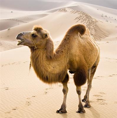 精彩故事:骆驼和羊