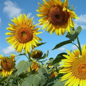 精彩故事:向日葵和石头
