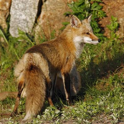 精彩故事:断尾的狐狸