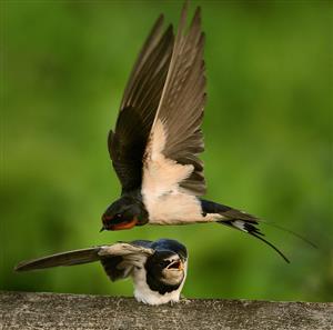 精彩故事:燕子与鸟类