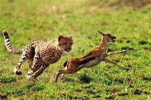 猎豹追赶羚羊
