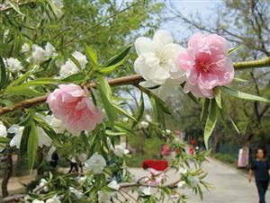 同一株碧桃上的花