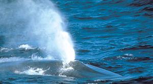鲸呼气时产生雾状水柱