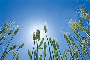 阳光下生长的小麦