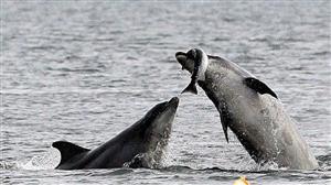 捕食大马哈鱼的海豚
