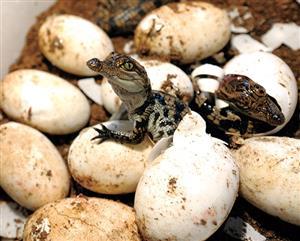 破壳而出的幼鳄
