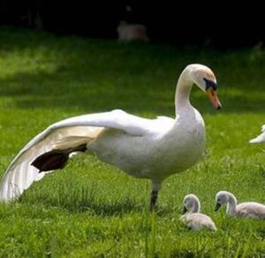 推荐阅读:美丽的大白鹅