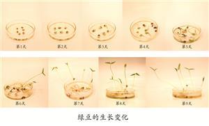 绿豆的生长变化