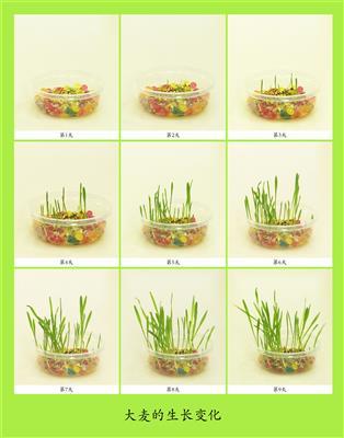 大麦的生长变化