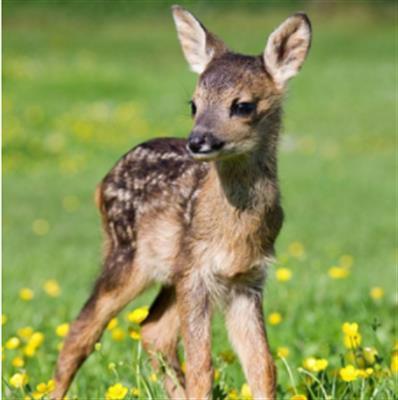 精彩故事:善良的小鹿